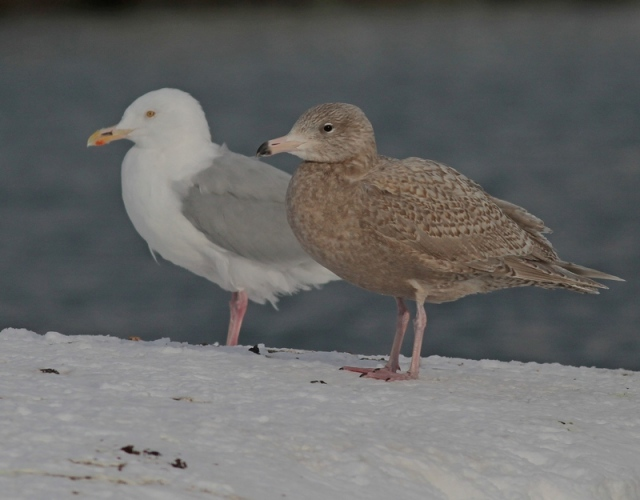 Glaucous Gulls ad and juv