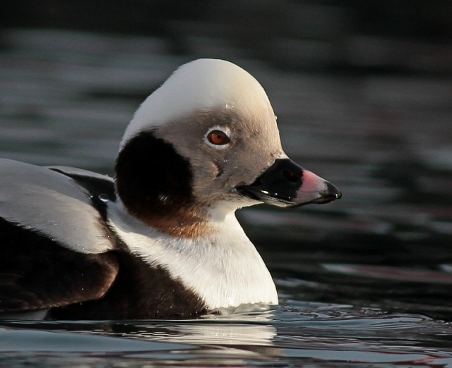 Long-tailed Duck  ad male