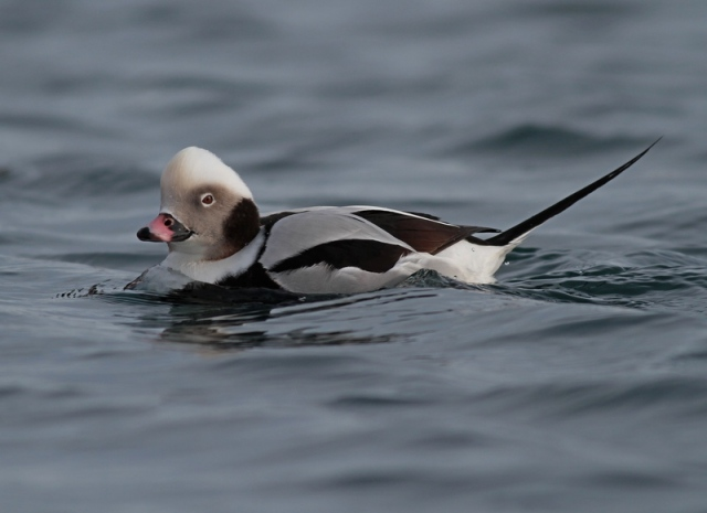 Long-tailed DUCK MAL
