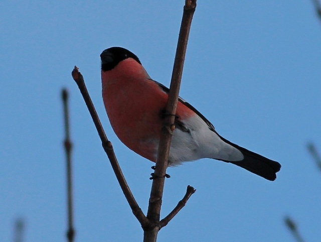 Northern Bullfinch b oslo