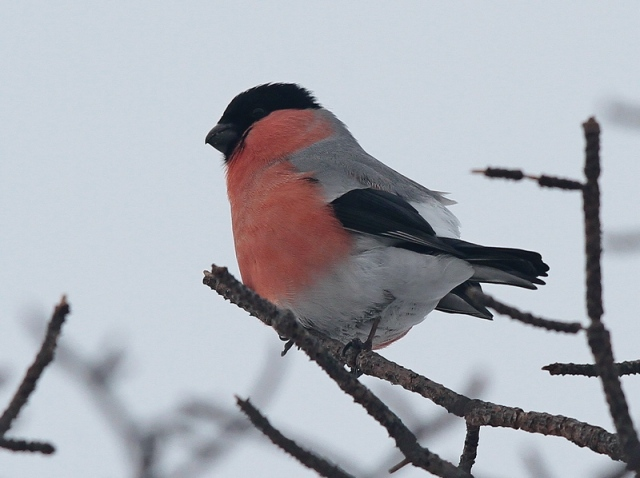 Northern Bullfinch male 20.3.13