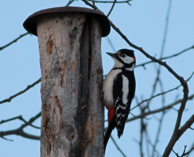 Northern Great Spotted Woodpecker oslo March 13