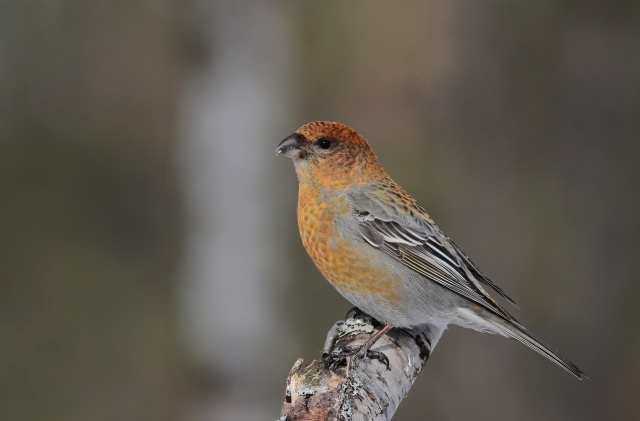 Pine Grosbeak a 20.3.13