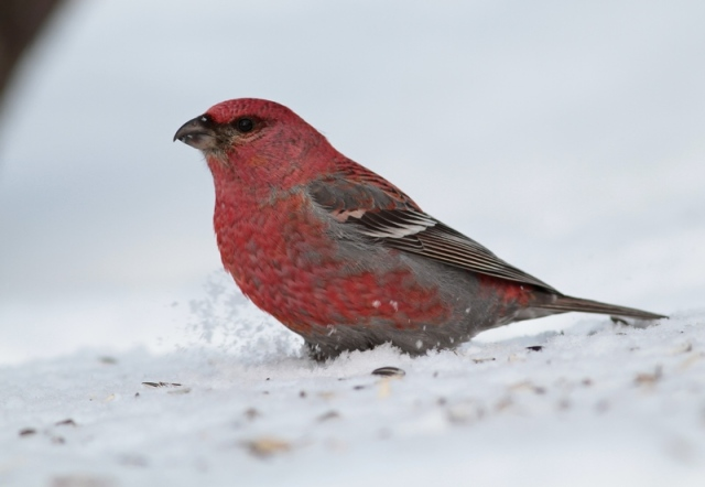 Pine Grosbeak c 20.3.13