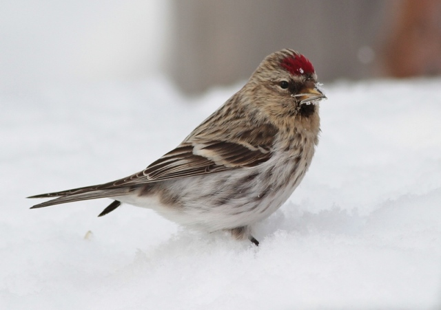 redpoll uncertain 20.3.13