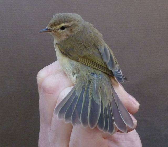ringed poss tristis Chiffchaff 17th Feb 2013 014