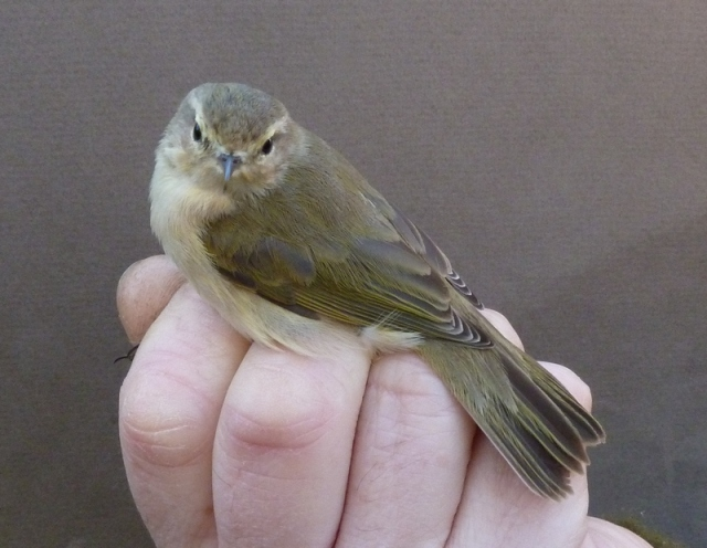 ringed poss tristis e Chiffchaff 17th Feb 2013 014.