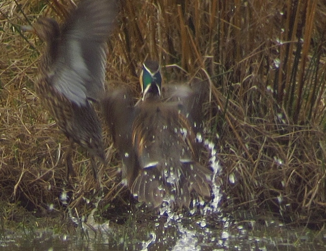 Baikal Teal, male, Flamborough, 15 April 13 BR1