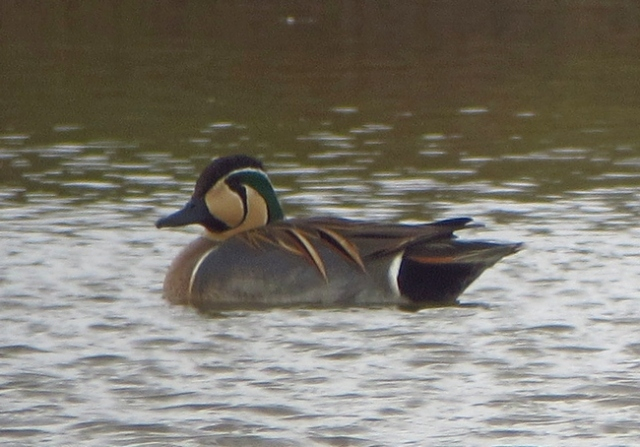 Baikal Teal, male, Flamborough, 15 April 13 BR2