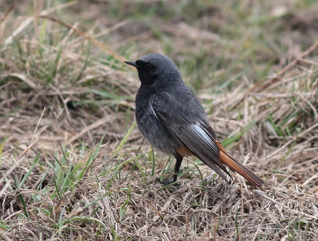 Black Redstart male e 9.4.13