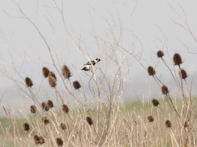 eastern_Stonechat_2003