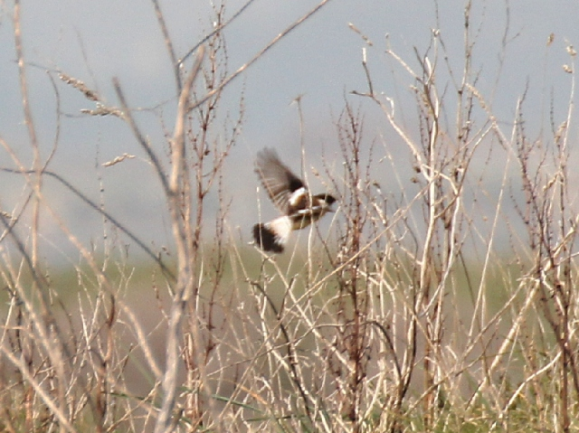 eastern_Stonechat_2025