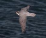 gyr-falcon-ad-12 (2)