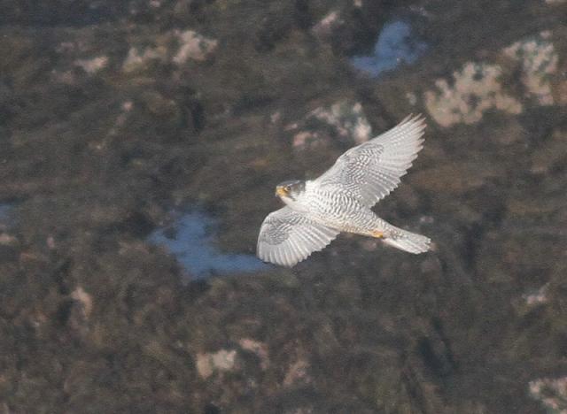 Gyr Falcon ad 8