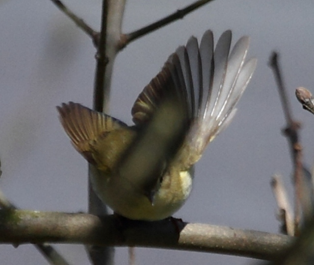 Iberian chiffchaff  andy deigton 27april