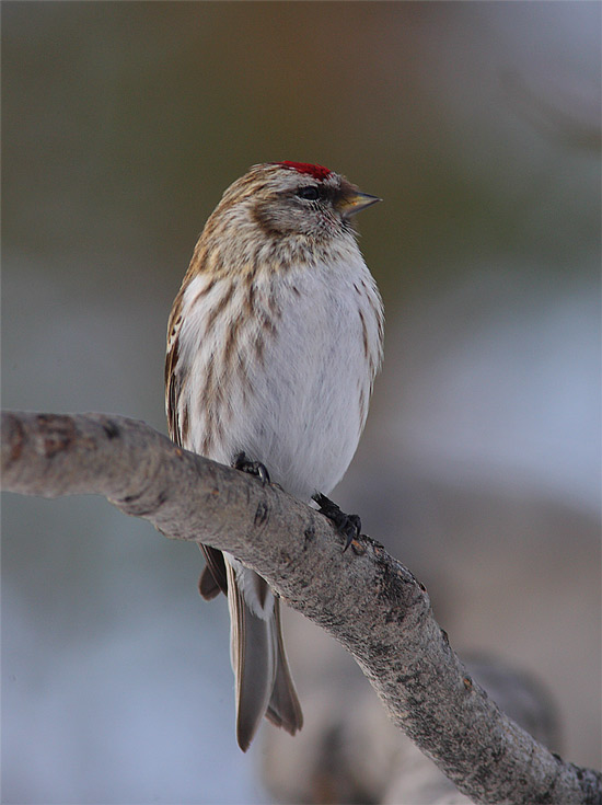 Mealy-Redpoll-31322604