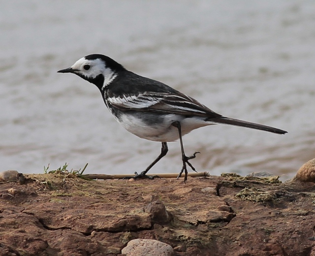Pied Wagtail b 18.4.13