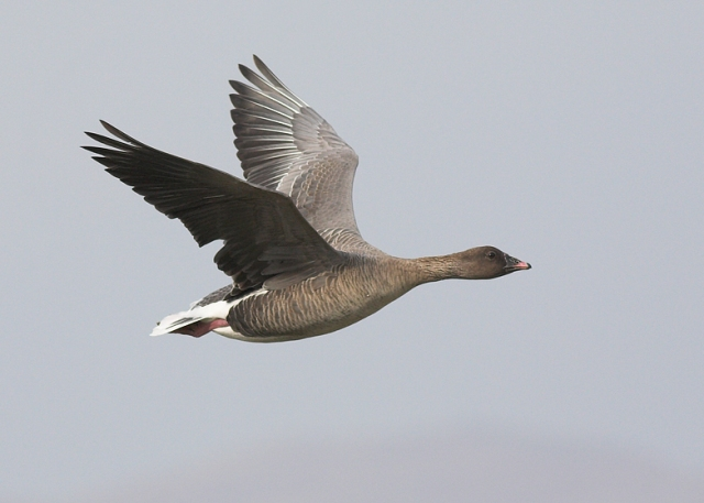Pink-footed-Goose,-wing-dam