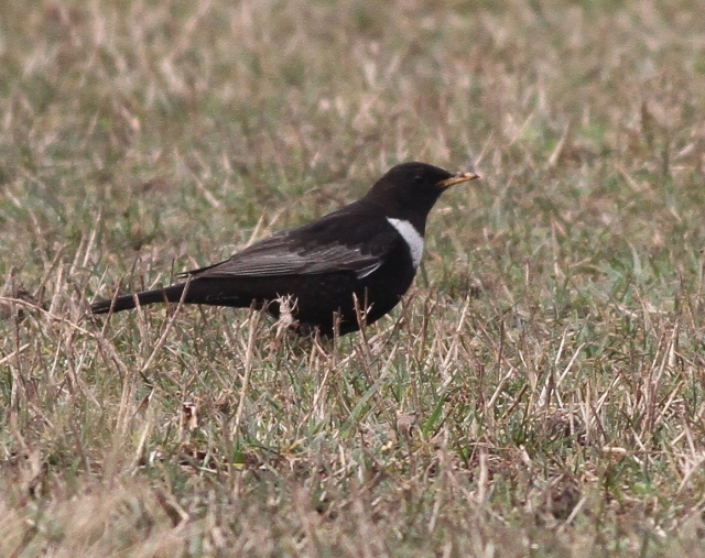Ring Ouzel 2cy male e Thornwick 9.4.13