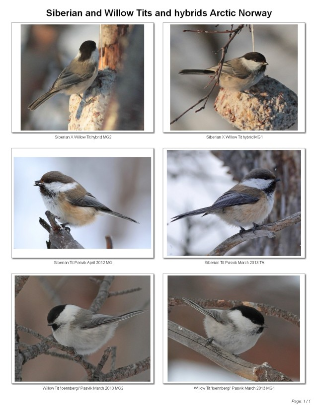 Siberian and Willow Tits plus hybrid Arctic Norway