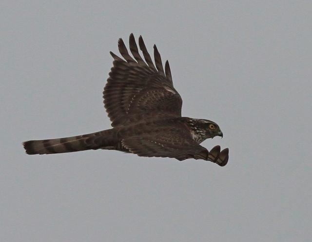 Sparrowhawk a 9.4.13