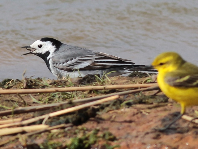 White Wagtail 18.4.13
