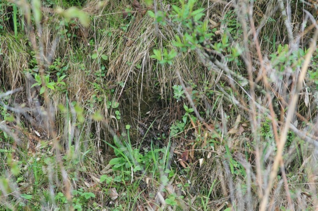 A Blackthroat nest from 2012.  Situated on a steep bank.