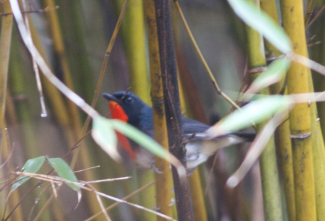 Firethroat (Luscinia pectardens), Changqing National Nature Reserve, Shaanxi Province.  We felt bad at being disappointed to see this stunning bird!