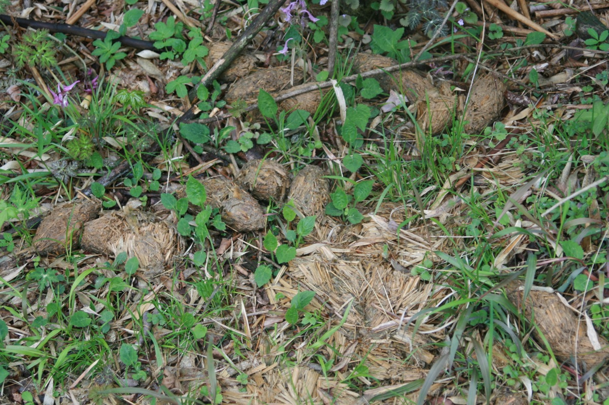 Giant Panda poo... our closest encounter with this special mammal.