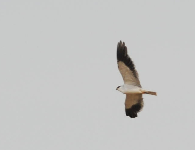 Asian Black-shouldered Kite in Turkey
