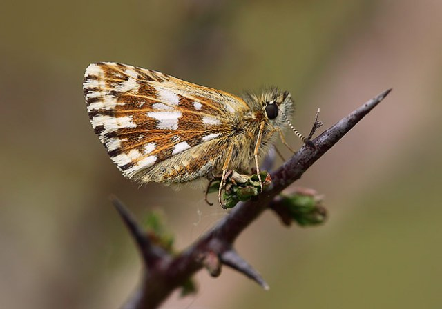 Grizzled-Skipper-58791357