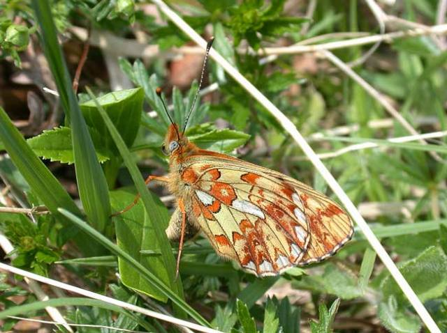 Pearl-bordered-Fritillary-May11th2008-028