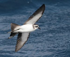white-faced-storm-petrel-5