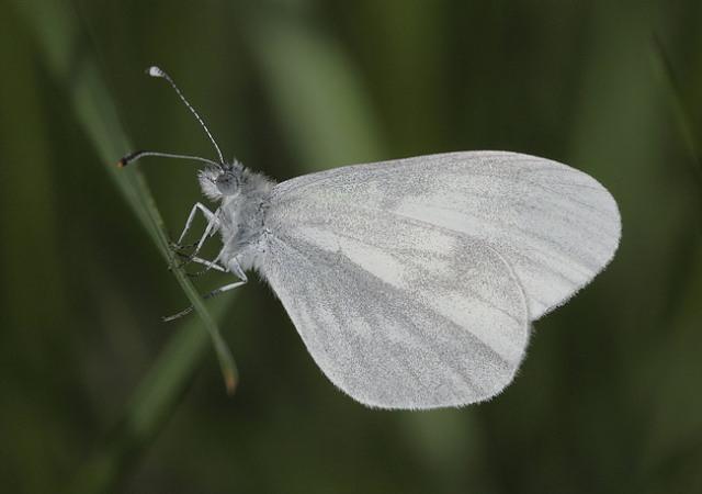 Wood-White-30001