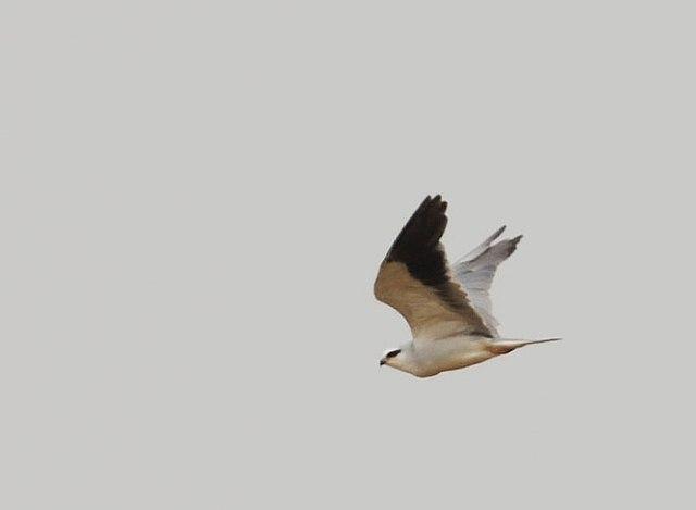 asian-black-winged-kite-bf