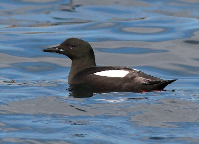 Black Guillemot Lerwick May 13