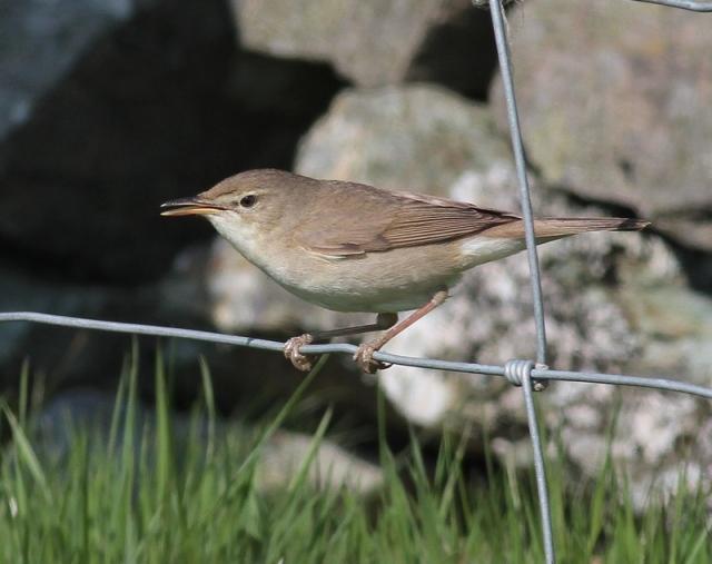 Blyth's Reed Warbler c Fetlar May 2013