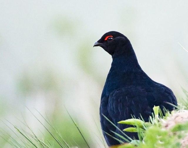 cauc-black-grouse-sivrikaya