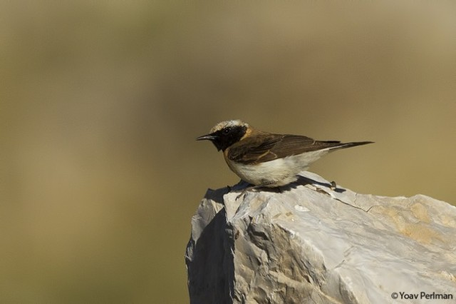 Eastern Black-eared Wheatear, 2cy male