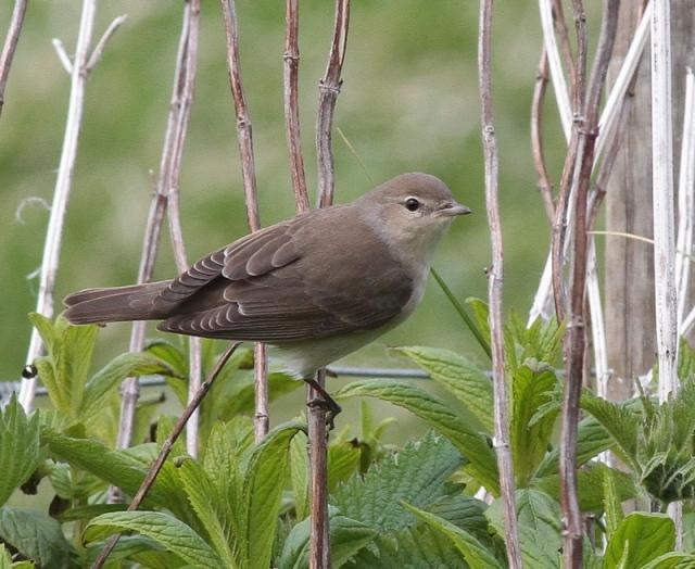 Garden Warbler Skaw unst May 13