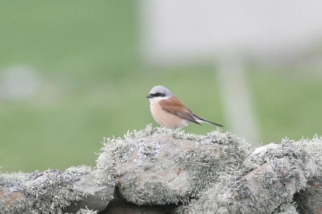 Gary bell Sumburgh bird