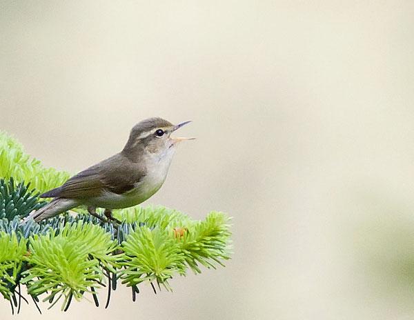 green-warbler-bf
