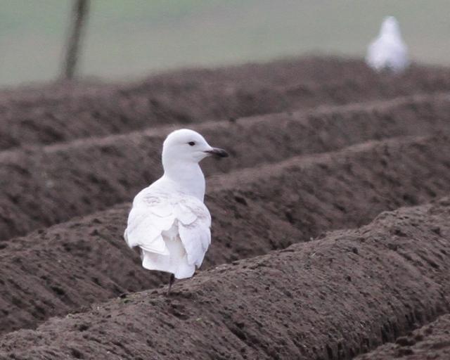 Iceland Gull fleck