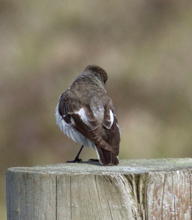 From behind - an obvious whitish band across the rump, and a diffuse grey collar...