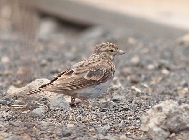 Lesser Short-toed Lark Lanzarote early June 2012