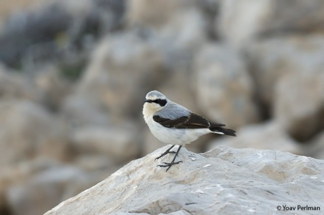 Northern Wheatear ssp. libanotica