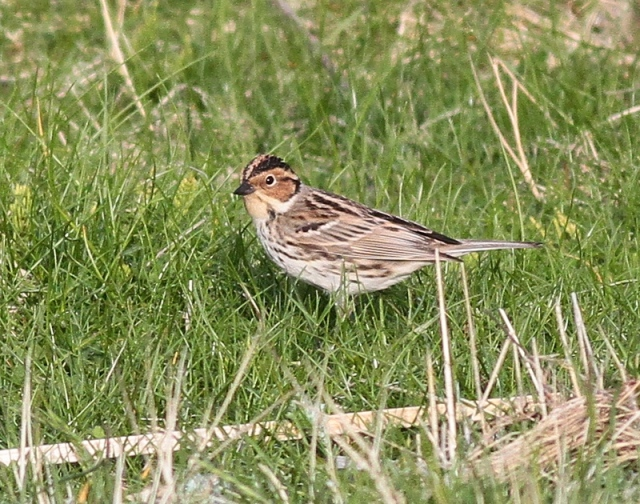Little Bunting Skaw one