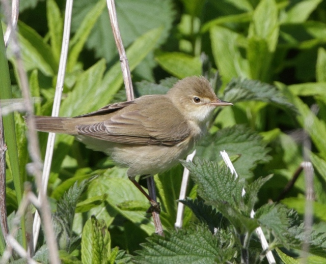 Marsh Warbler at Skaw May 2013 RB
