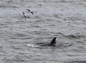 Orca Sumburgh