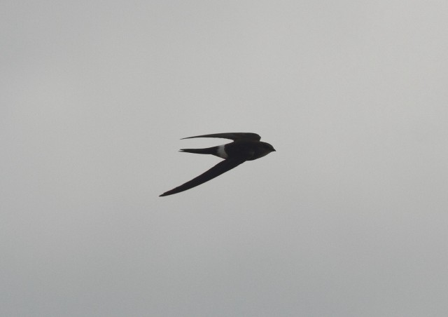 Pacific Swift1